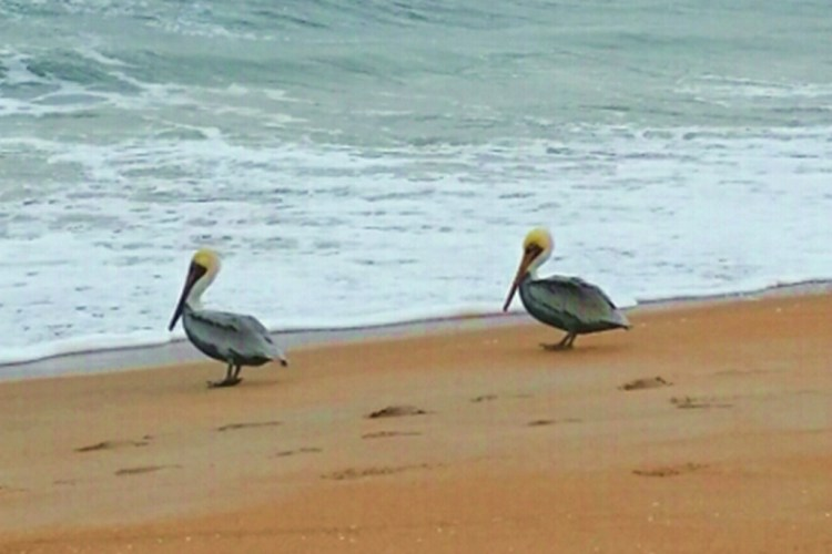 Two pelicans on a beach