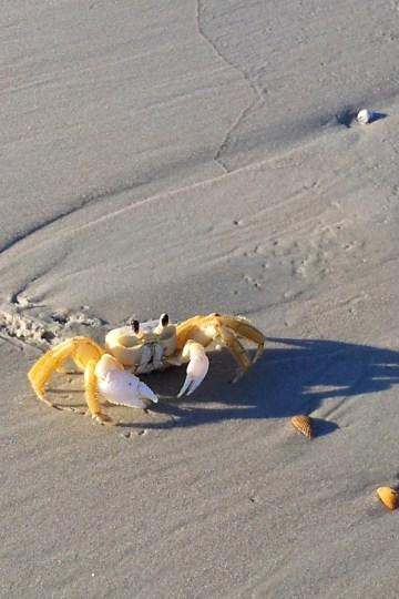 Cute yellow crab on the beach