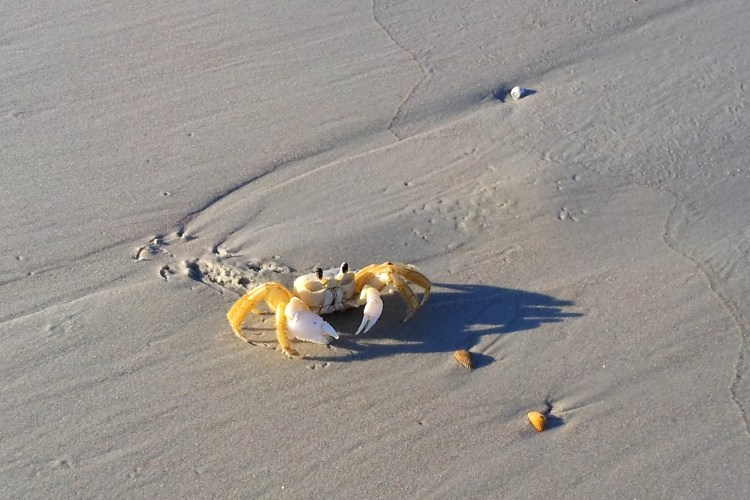 Cute yellow crab on the beach