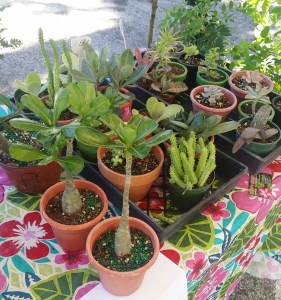 Succulents at New Smyrna Beach Farmers Market in Florida