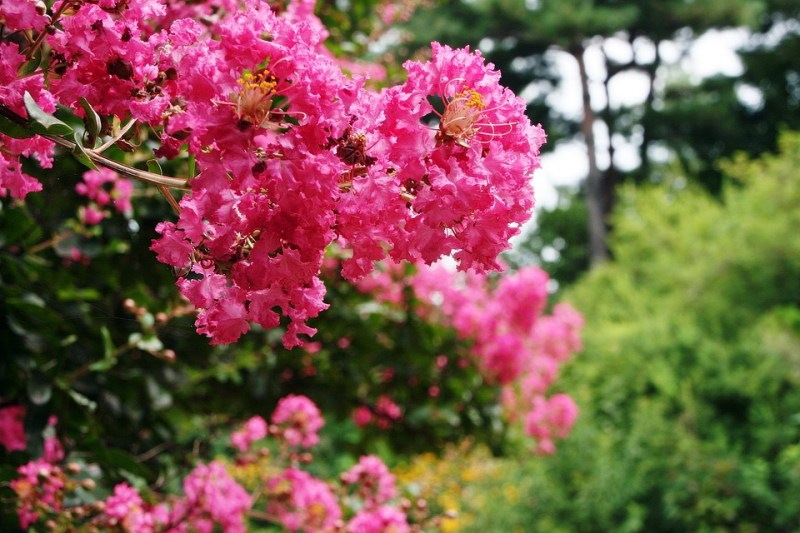 Lagerstroemia Indica Crape Myrtle Trees mckinney texas buying a hosue in mckinney how to buy a home moving to mckinney living in mckinney best realtor in mckinney texas