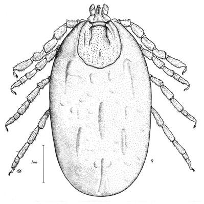 Opilioacariformes