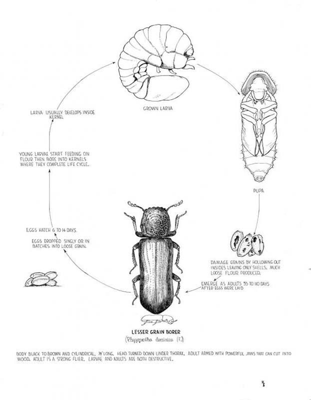 Grain Weevil Life Cycle