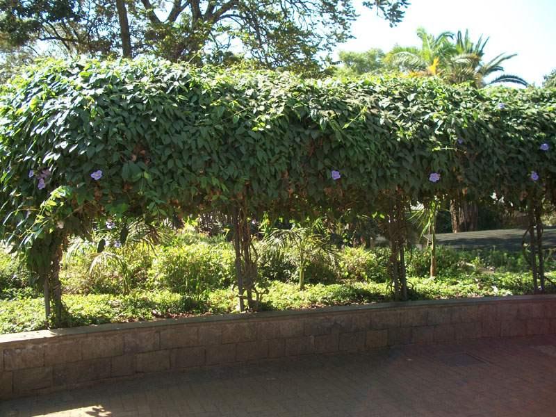 Factsheet Thunbergia Grandiflora Blue Thunbergia