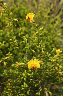 Factsheet  Eutaxia microphylla