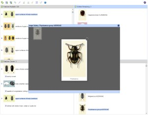 Beetles of the World Lucid Key taxon gallery example