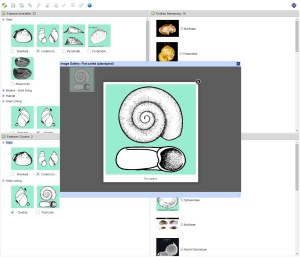 Families of Australian Aquatic Molluscs Lucid key feature image gallery example