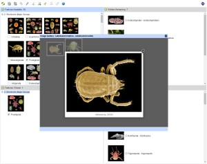 Mites in Soil - Lucid key taxon image galler example