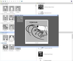 Orders of Australian Aquatic Arthropoda Lucid key feature image gallery example
