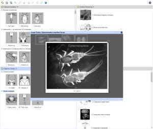 Orders of Australian Aquatic Arthropoda Lucid key taxon image gallery example