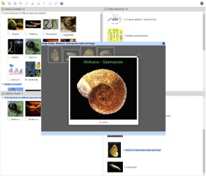 Phylum and class of Australian Aquatic Invertebrates Lucid key taxon gallery example