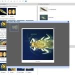 Key to Families of Australian Aquatic Ephemeroptera Larvae Lucid key feature image gallery example