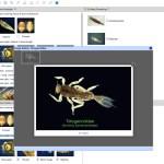 Key to Families of Australian Aquatic Ephemeroptera Larvae Lucid key taxon image gallery example