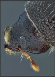 Key to the world species of Ips (Coleoptera: Curculionidae: Scolytinae) Lucid key feature image gallery example 2