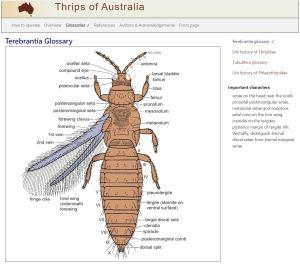 Thrips of Australia glossary example