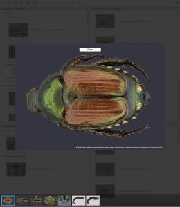 Scarab Pests Lucid key taxon gallery example