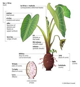 Hawaiian Kalo plant diagram