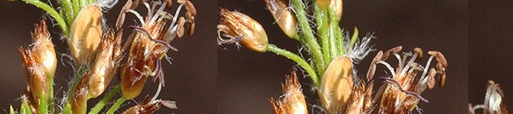 Key to Restionaceae of Western Australia banner