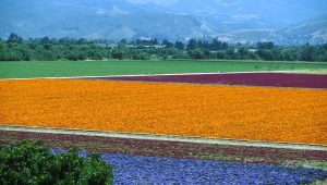 lompoc flower field