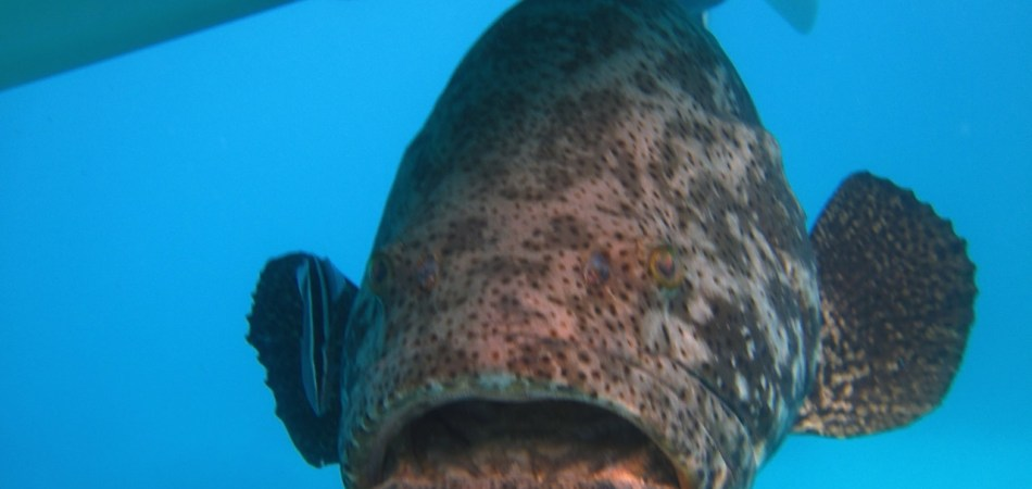 goliath grouper under our boat on the water