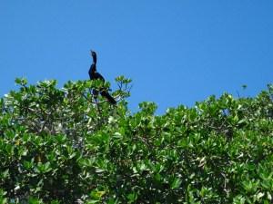 cormorants in mangroves