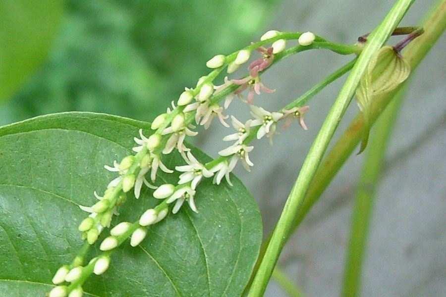 Dioscorea bulbifera var bulbifera