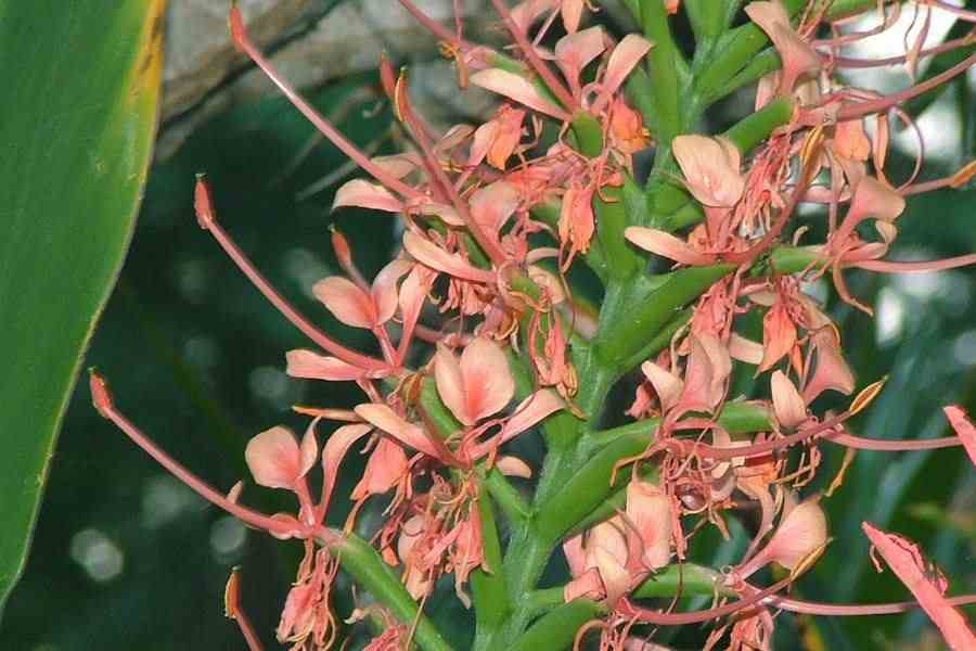 Hedychium gardnerianum