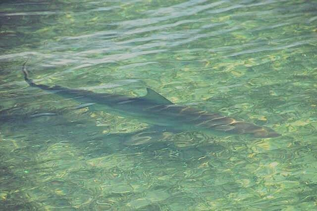 A flats Blacktip approaches the boat, a flyrodder's best fun when it comes to sharks.
