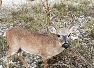 #DayTripping: Big Pine Key deer & No Name Pub - A deer standing in the grass - White-tailed deer