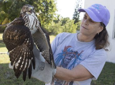 Florida Keys Wildlife Rescue volunteer Debbie Rodd releases a Broad-winged Hawk.