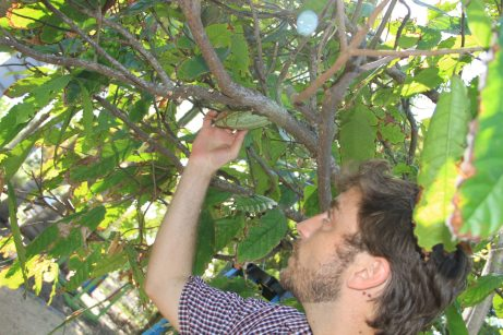 Gilbert is hand pollinating the cacao buds. Gilbert became interested in chocolate when his father opened a chocolate shop when he was 11 years old.