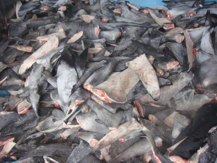 Most shark fins end up in shark fin soup, considered a delicacy in Asia. OEANA/Contributed