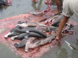 Finned hammerhead sharks. DAVID JACOBSEN/Contributed