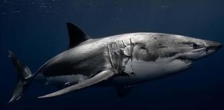 What recent great white sightings in the Keys mean - A shark in the water - Shark