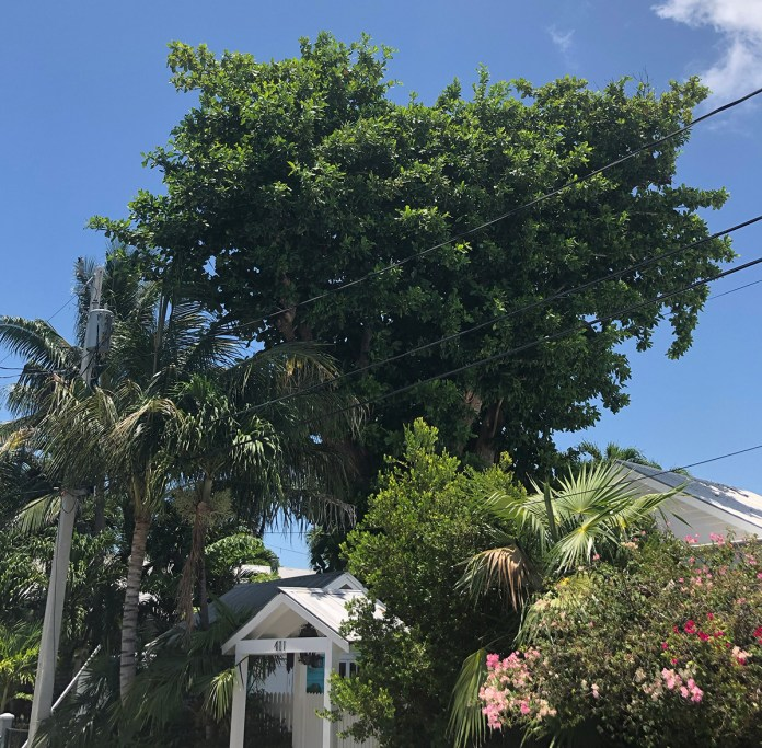Tropical Almond Latest Branch in Tree Commission Controversy - A large tree - Palm trees