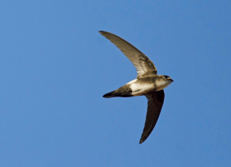 Rare bird attracts birders from around the country to Grassy Key - A bird flying in a clear blue sky - Antillean palm swift