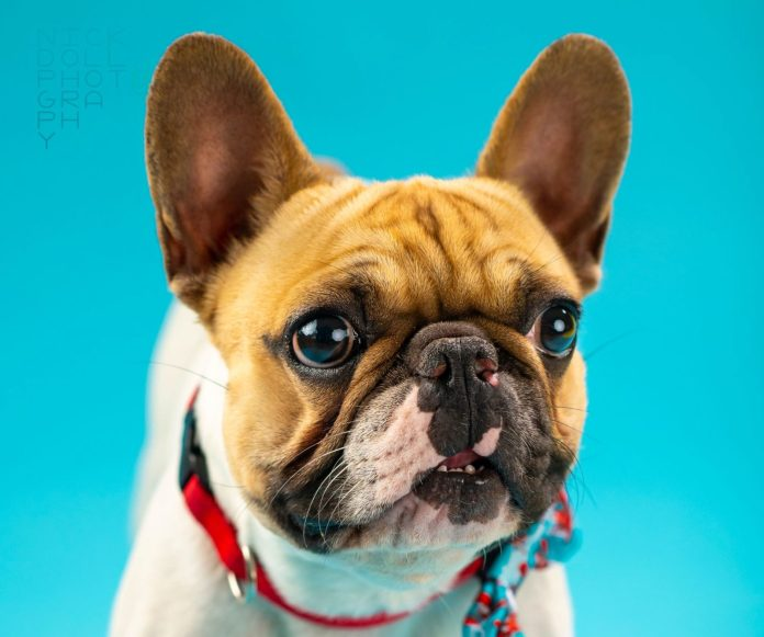 A Better City for Pets…Officially – Key West Awarded Animal Friendly Designation - A dog wearing a red hat and looking at the camera - French Bulldog