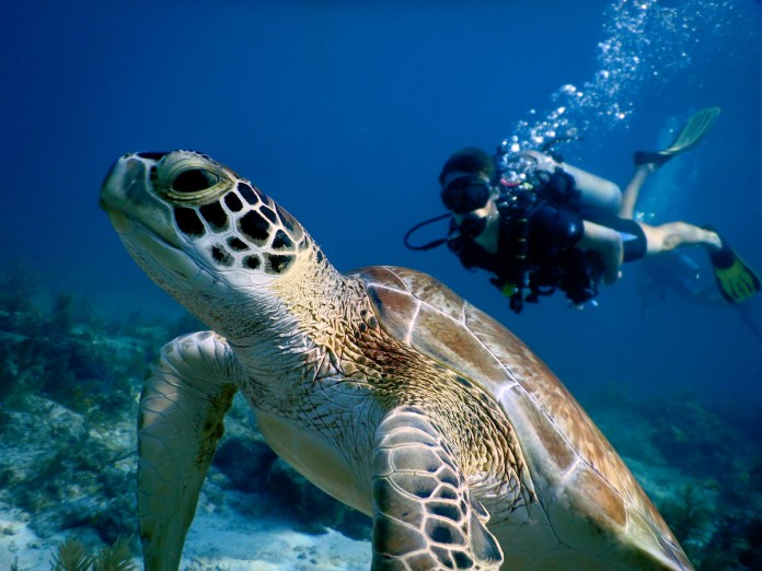 Scenes from Florida Keys National Marine Sanctuary top national contest - A turtle swimming under water - Key Largo