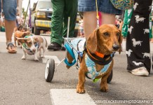 Parade, 'drops' ring in new year - A small dog on a leash - Hound