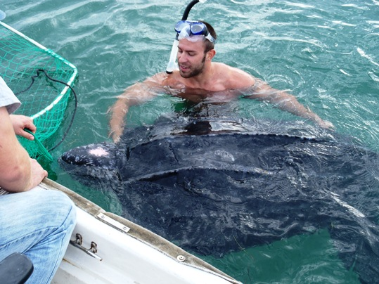 Turtle Hospital staffer Andy Dobrowolski with a 500 lb leatherback turtle rescued earlier this week