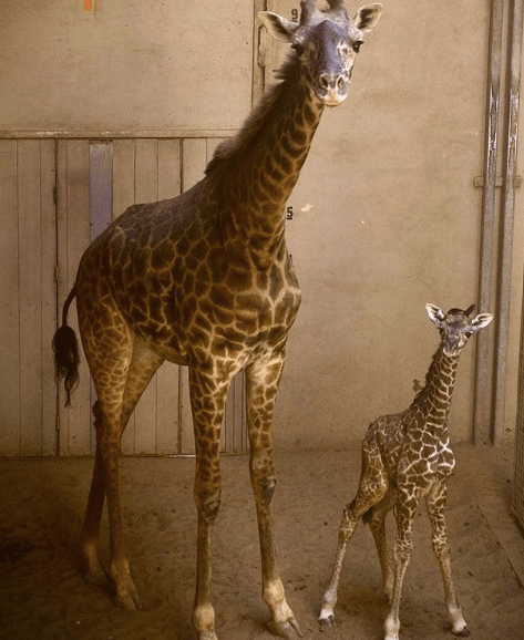 How Tall Is A Newborn Giraffe : newborn, giraffe, Santa, Barbara, Zoo's, Newborn, Giraffe, NewsChannel