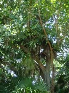Arjun Almond Tree Image
