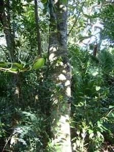 Milkbark Tree Image