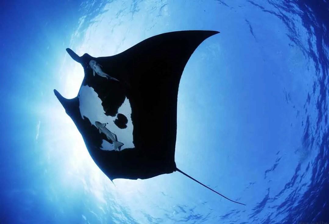 manta-ray-sea-creature-wallpapers