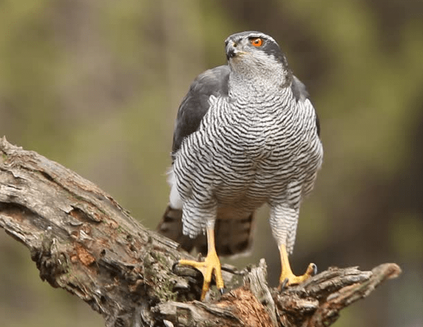 El azor, ave nacional de Corea