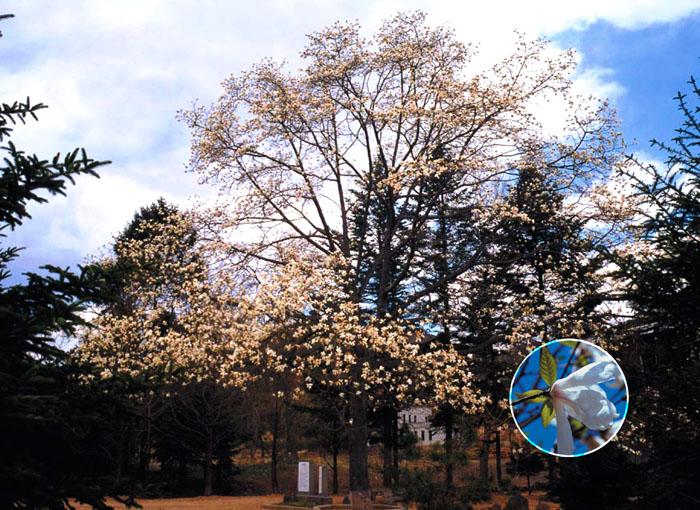 Magnolía de Kyongsong, monumento natural