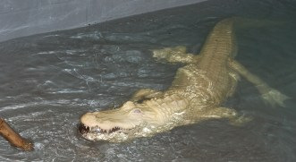 Scavelli accurately tosses the specialized food pellets near the albino alligators head. If the food is thrown elsewhere, Scavelli must guide pellets with a stick towards the alligator so it can see the food.