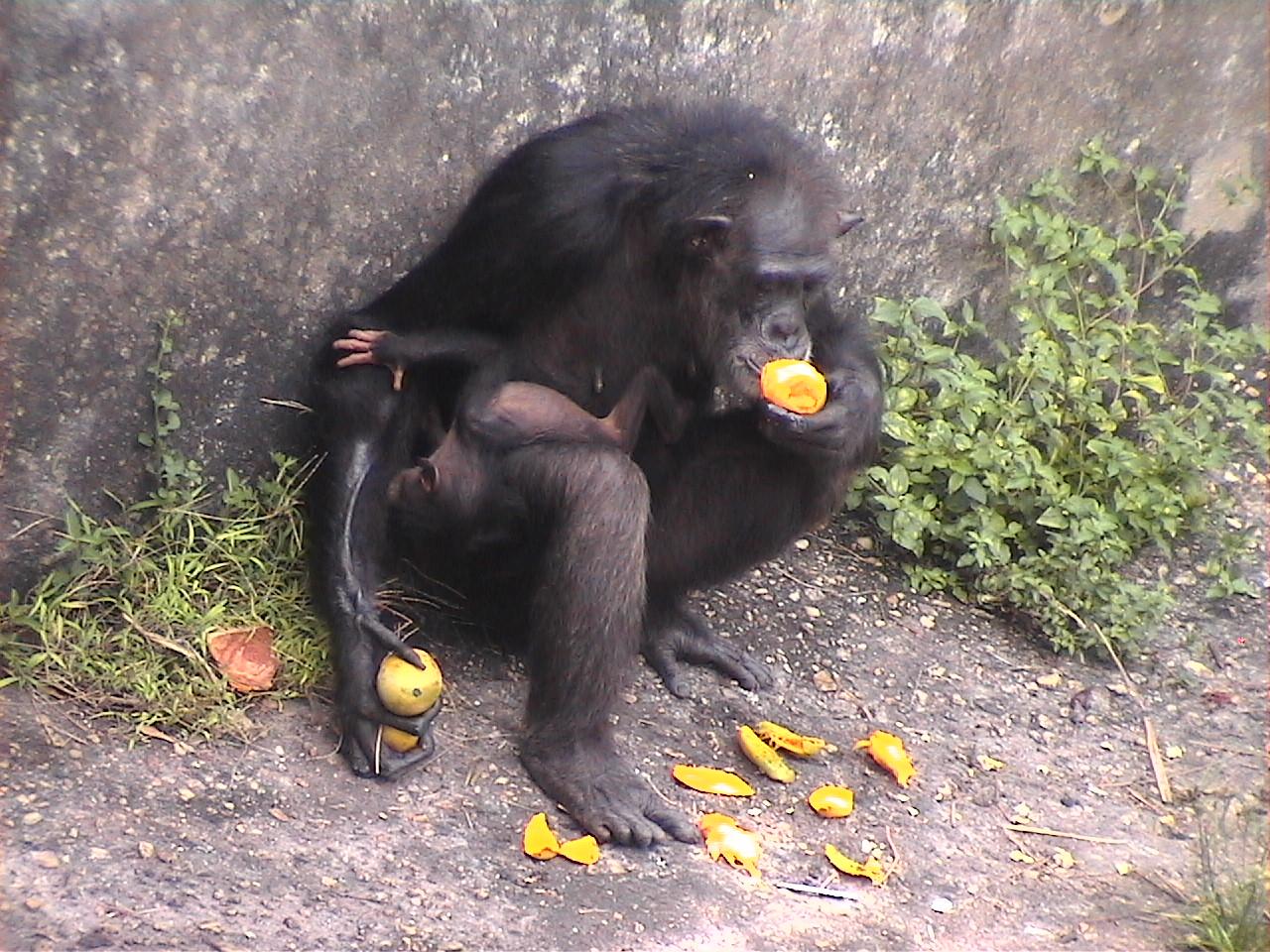 Mom and Baby Chimp at the Abidjan Zoo