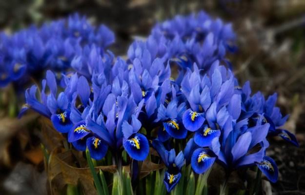 150406_First Siberian Iris Blooms by Karl Graf.