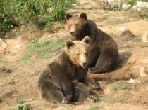 Brown bears, Croatia
